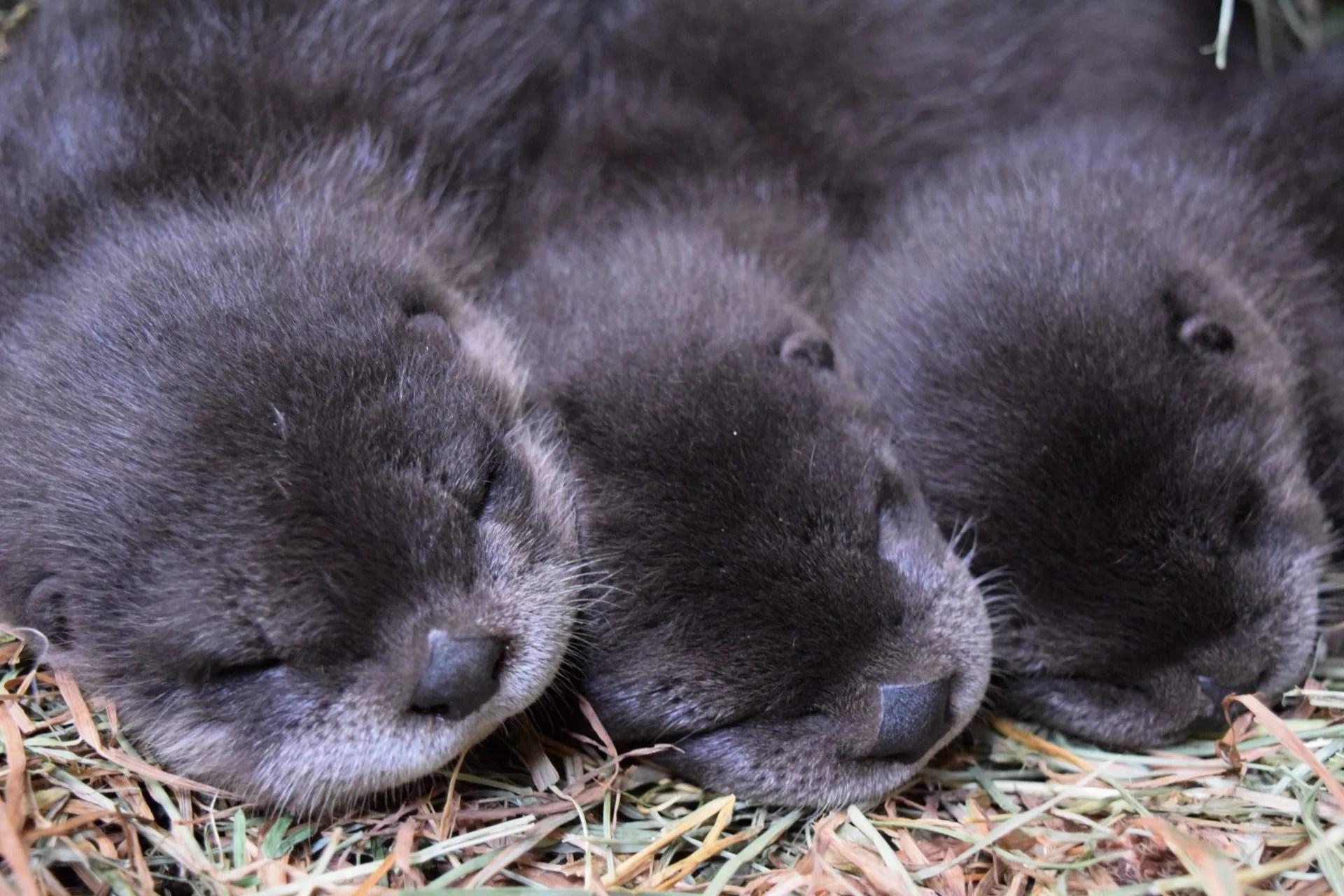 Meet Buttonwood Park Zoos 3 New Furry Adorable Otter Babies Buttonwood Park Zoo
