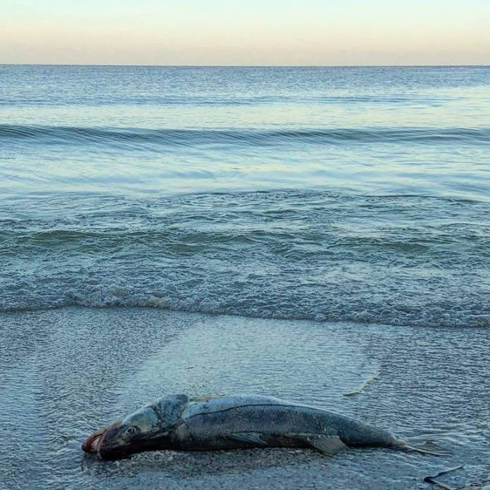 Tons of dead fish washed ashore on Anna Maria Island during last year's red tide outbreak.