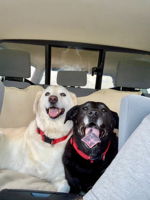 The dogs in the back seat of the truck