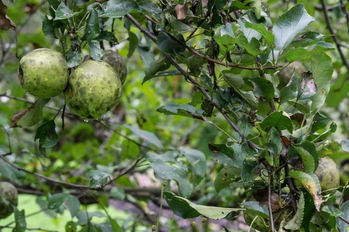 September 30th: Apples