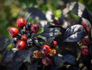 Dec 13: Berries