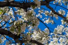 April 23: Flowering Tree