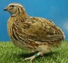 A quail (but not Goober)