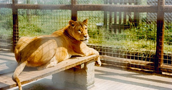 Christian the Lion's mother Ilfracombe Zoo John Rendall