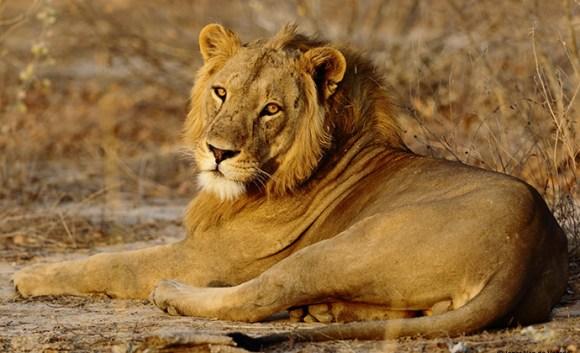 Lion Penjdari National Park Benin by J Van der Voorde, African Parks