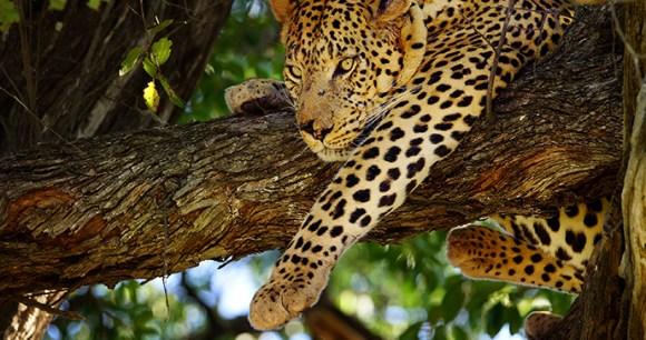 Leopard, Botswana by Efimova Anna, Shutterstock
