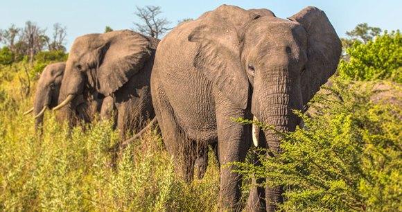 Elephants, Moremi Game Reserve, Botswana by Joakim Lloyd Raboff, Shutterstock