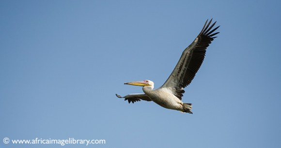 Pink-backed pelican, The Gambia by Ariadne Van Zandbergen
