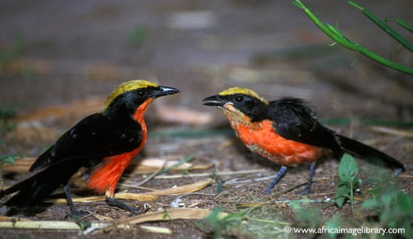 yellow-crowned gonolek, The Gambia by Ariadne Van Zandbergen