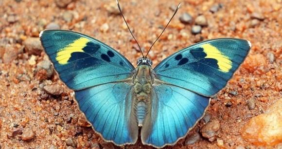 Butterfly, Bobiri Forest, Ghana, by Charlesjsharp, Wikimedia Commons