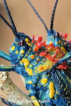 Milkweed locust Madagascar Africa by Daniel Auston