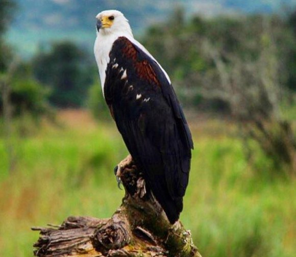 Fish eagle by Jean-Marie Kagaba Twambaze
