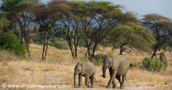 Ruaha National Park Tanzania elephant by Africa Image Library
