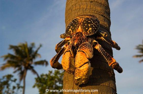 Giant coconut crab Tanzania by Ariadne Van Zandbergen, Africa Image Library