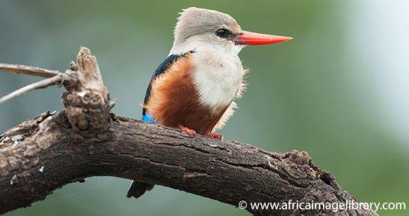 Kingfisher Lake Manyara National Park Tanzania by Ariadne Van Zandbergen