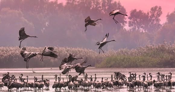 Pelicans Hula Valley Israel © A N Protasov, Shutterstock