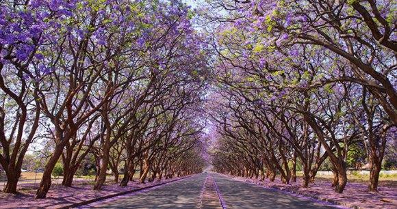 Jacaranda trees Milton Avenue Harare by Jez Bennett, Shutterstock