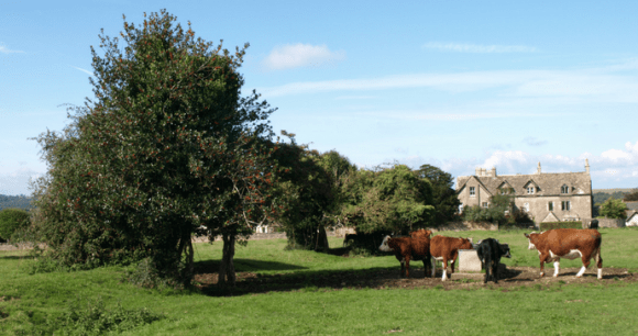 Minchinhampton Common Cows © Guy Jackson