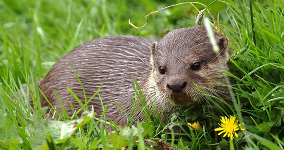 Otter in Cornwall by the Tamar Otter & Wildlife Centre
