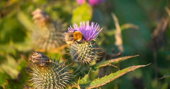 Great yellow bumblebee thistle Orkney by Kenny Lam, VisitScotland