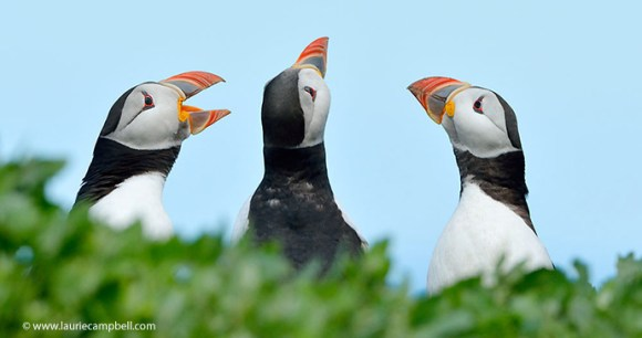 Puffins Outer Hebrides Scotland UK by Laurie Campbell Photography