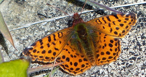 Queen of Falkland fritillary, Falkland Islands by Will Wagstaff