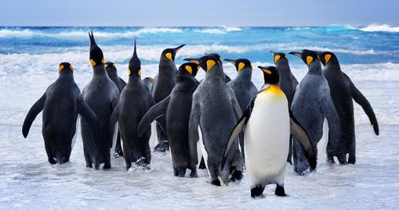 king penguins, Falkland Islands by kwest, Shutterstock