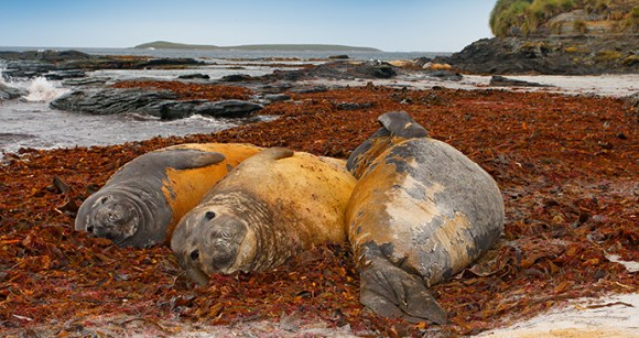 Elephant seal, Falkland Islands by Ondrej Prosicky, Shutterstock