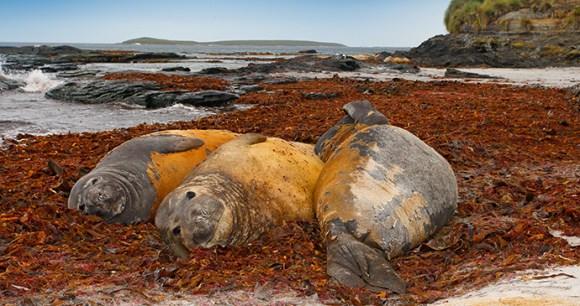 Elephant seal, Falkland Islands by Ondrej Prosicky, Shutterstock