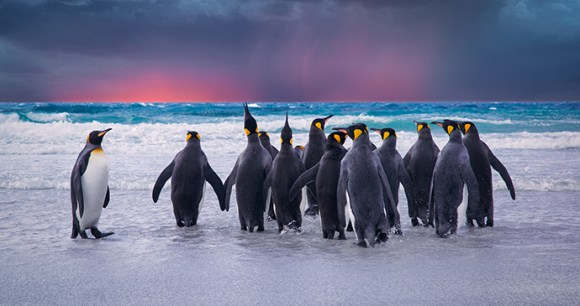 king penguins, Falkland Islands by kwest, Shutterstock