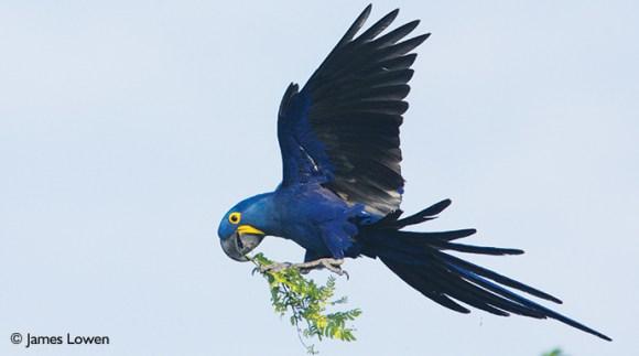 Hyacinth macaw Pantanal Brazil by James Lowen