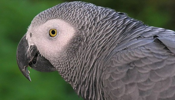 African grey parrot Gabon by © L.Miguel Bugallo Sanchez, Wikimedia Commons