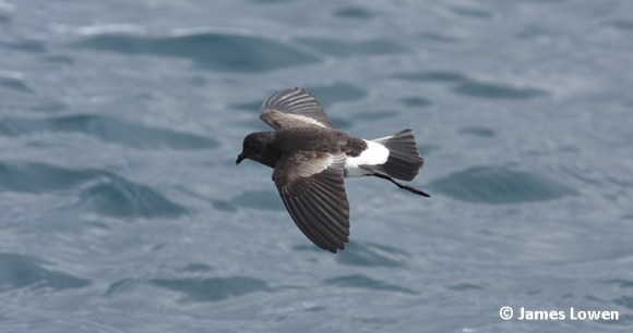 Wilson's storm-petrels, Algarve, Portugal by James Lowen