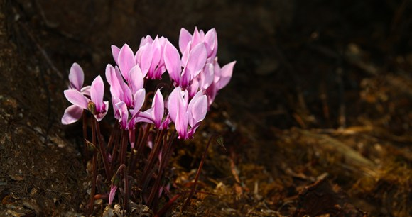 Greek cyclamen, 52EWW Geza Farkas, Dreamstime