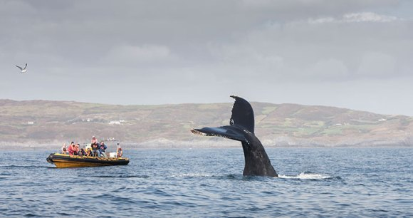 Humpback whale, Cork, Ireland by Baltimore Sea Safari