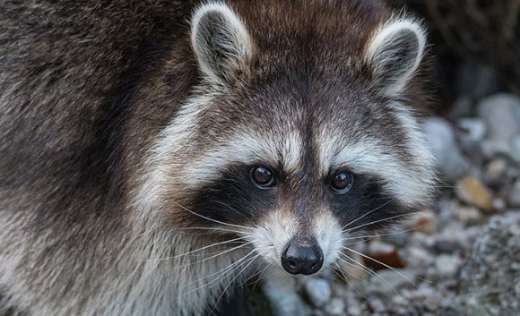 Northern raccoon, Austria by Isiwal, Wikimedia Commons