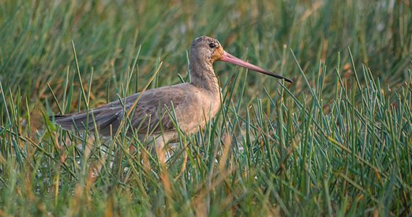 Black-tailed godwit, France by Mike Prince, Wikimedia Commons