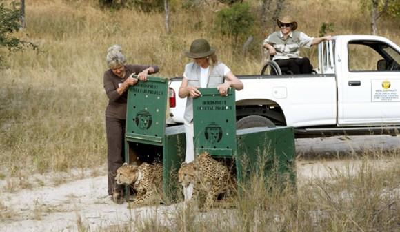 Releasing cheetahs, A Cheetah's Tale by HRH Princess Michael of Kent