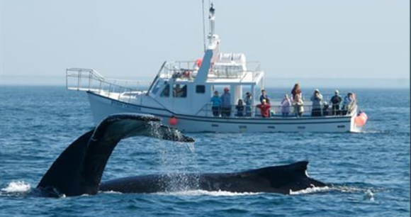 whalewatching, bay of fundy, nova scotia by tourism nova scotia