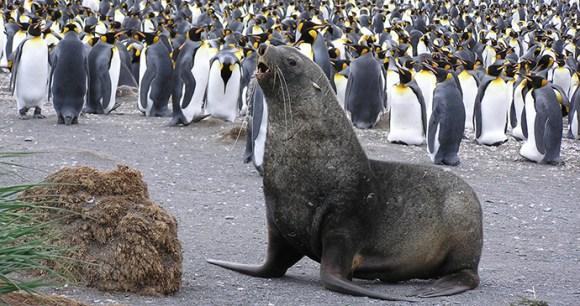 Fur seal Antarctica © Tony Soper