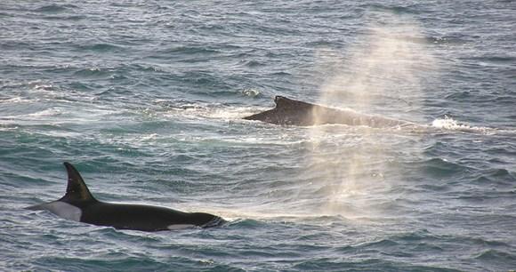 Killer whale chasing humpback Antarctica Tony Soper
