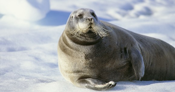 Bearded seal The Arctic by BMJ Shutterstock