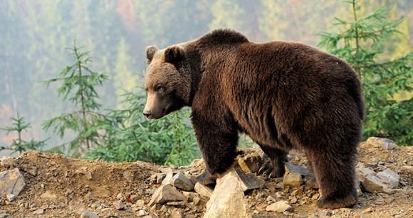 Brown bear The arctic by Volodymyr Burdiak Shutterstock