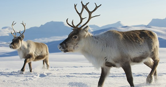 Reindeer The Arctic by Dmitry Chulov Shutterstock