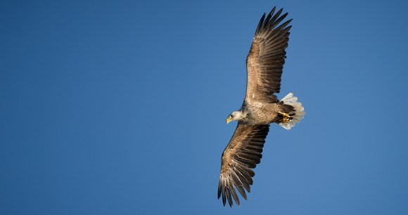 White-tailed sea-eagle The Arctic by Andrew Astbury Shutterstock