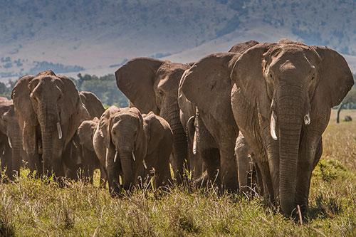 Elephants, Angela Scott