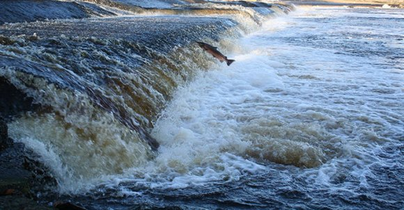 Leaping salmon North York Moors Yorkshire UK by © verityjohnson, Shutterstock