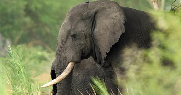 Elephant Liwonde National Park by Dana Allen Central African Wilderness Safaris