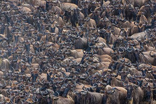 Wildebeest Kenya Africa by Angela Scott
