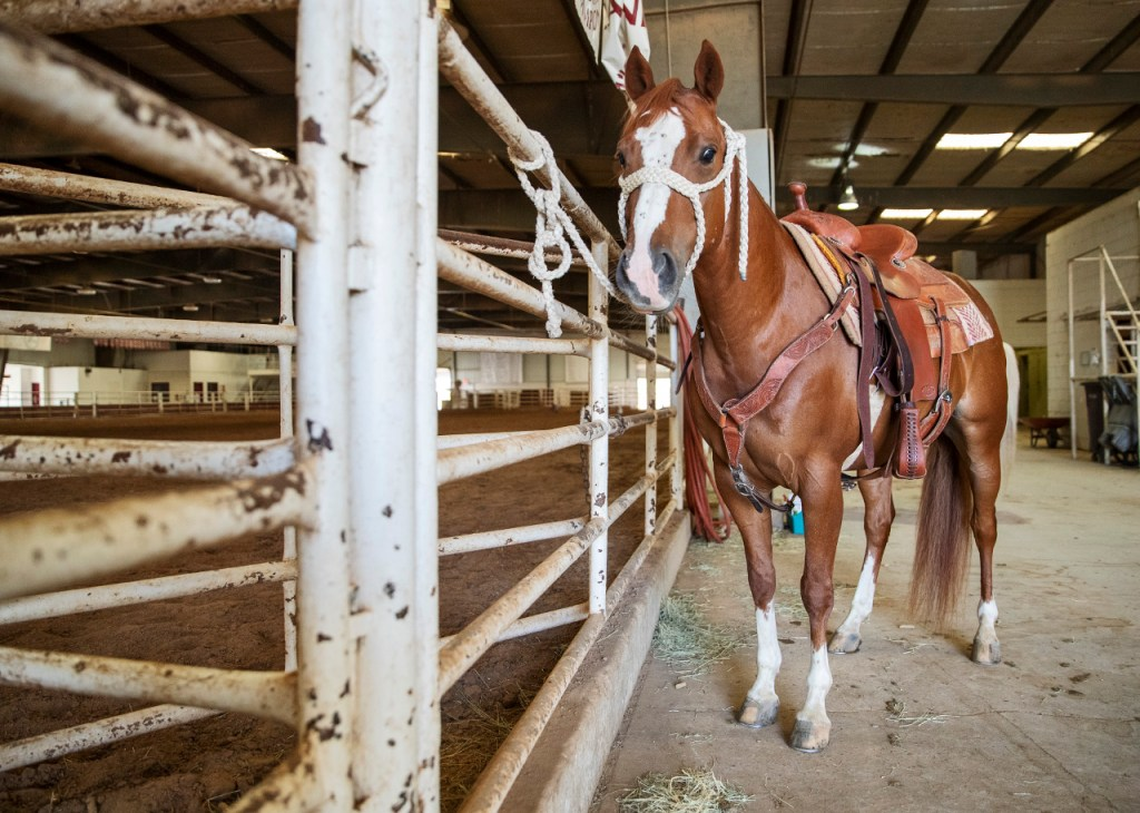 Lacey Edge saddles horse Buddy, Saturday, Aug. 4, 2018, at West Texas A&M Horse Center in Canyon, Texas. Edge has gelded more than 100 stallions with her mom since 2010 as part of Operation Gelding. (Brad Tollefson/Out Here Magazine)
